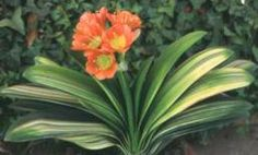 Clivia with variegated leaves