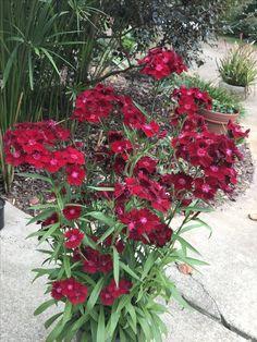 Dianthus 'Rockin Red'