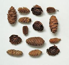 pinecones, various