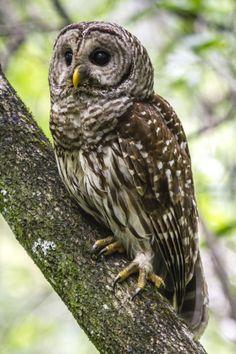 Barred Owl (Strix varia), Corkscrew Swamp Sanctuary, Naples, Florida, USA