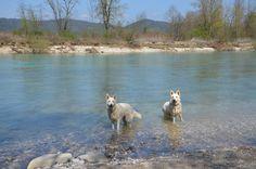 shepherds in the river