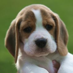 """This is a """"bogle"""" boxer/beagle mix looks just like our"""