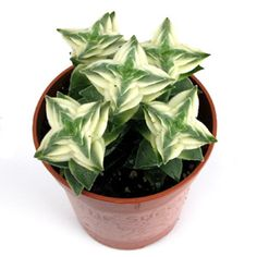 Crassula perforata variegata - bright, filtered light