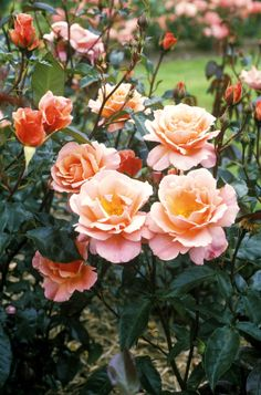10 Fascinating Things You Didn't Know About Roses  - TownandCountryMag.com