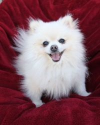 KC is an adoptable Pomeranian Dog in Rancho Palos Verdes, CA. KC is an adorable t-cup Pomeranian that weighs 4 pounds.  He was found running the streets without tags or microchip.  His owners didn't c...