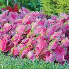 Caladium Florida Sweetheart. A caladium with smooth, bright pink foliage rimmed with green. Leaves are elongated and slightly ruffled.