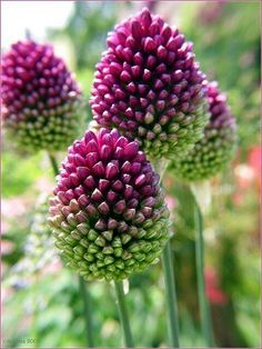 Drumstick Allium #beautiful #flowers #garden