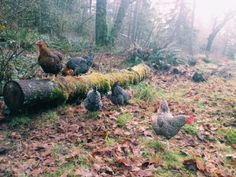 Eating nutritiously is especially important for backyard chickens. Here are some species to plant near chickens to keep them healthy, well fed, and happy!