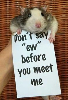 rats are made out to be mean, unlovable rodents. when really they are very loving, smart, and cuddly little pets. way better than hamsters, and way less smelly and less expensive than ferrets. Animals And Pets, Baby Animals, Funny Animals, Cute Animals, Strange Animals, Hamsters, Rodents, Chinchillas, Rata Dumbo