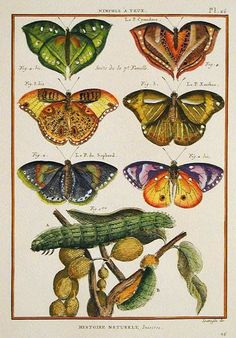 Butterflies and caterpillar Illustration Botanique, Butterfly Illustration, Nature Illustration, Botanical Illustration, Butterfly Painting, Butterfly Art, Vintage Butterfly, Nature Prints, Art Prints