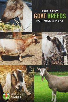 18 Best Goat Breeds for Milk and Meat Production Don't raise the wrong breeds. Here are 18 of the best goat breeds for milk and meat production that you should consider. Keeping Goats, Raising Goats, Raising Rabbits, Types Of Goats, Female Goat, Goat Barn, Boer Goats, Nigerian Dwarf Goats, Goat Meat