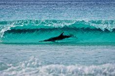 A dolphin swims at Thistle Cove in Cape Le Grand National Park, Esperance, Western Australia. Photo Credit: David Bristow