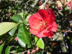 die japanische Zierkirsche hat schon abgeblüht ... fast! Rose, Garden, Flowers, Plants, Cherries, Garten, Gardening, Floral, Roses