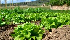 We are proud of our historic organic garden at Villa Della Torre.  We are committed to perserving the past as well as inovating for the future.  These greens will feed the guests of our estate.