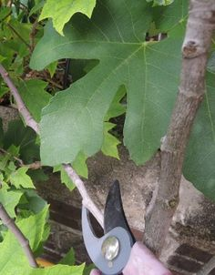 "In the next winter after transplanting, it is best to start pruning fig trees for ""fruiting wood."" This is wood that you will be pruning to help keep the fruit healthy and easy to reach. Select 4 – 6 branches to be your fruiting wood and prune away the rest."