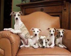 Whippet Family