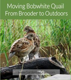Moving Bobwhite Quail Outdoors Moving Bobwhite Quail From Brooder to Outdoors Raising Quail, Raising Chickens, Backyard Chicken Coops, Chickens Backyard, Button Quail, Quail Coop, Live Chicken, Chicken Feeders, Bird House Plans