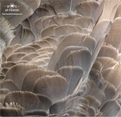Canadian Goose Feathers - my living room's neutrals
