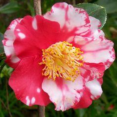 "Camellia higo ""Shokko-nishiki"""