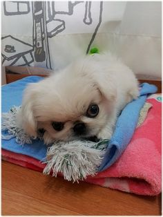 Angry Pekingese