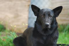 Black German Shepherd