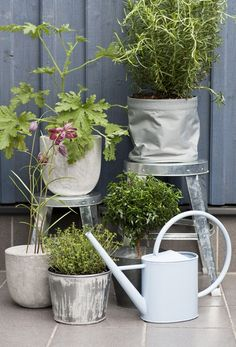 We`re going to plant our balcony plants in galvanized steel tubs and are crossing our fingers that our Rosemary will live through the Vancouver winter. I`ve heard it`s possible!