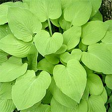 Hosta   Birchwood Parky's Gold.....medium in size, flatter smooth leaved mound of heart shaped golden chartreuse leaves.
