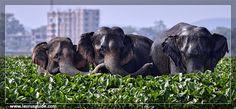 Asiatic elephants at Deepor Beel