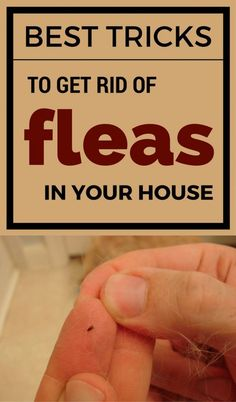 Learn how to get rid of fleas in your house with this effective tricks.
