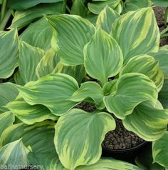 Hosta Magic Fire  Large  plant at maturity garden plant real eye catcher.