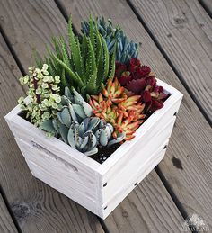 If only all white crates were this cool and colorful! We especially enjoy the variegated Portulacaria afra, fuzzy Kalanchoe tomentosa and the electric Sedum adolphii 'Firestorm'.
