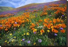 Global Gallery Nature Photographs California Poppy and Other Wildflowers Growing on Hillside, Spring, Antelope Valley, California by Tim Fitzharris. California Poppy, Southern California, Champs, Antelope Valley Poppy Reserve, California Wildflowers, Colorado Wildflowers, Painting Edges, Best Photographers, Gardens