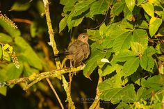 young Gray Catbird (Dumetella carolinensis). The dark patch on top of the head, as well as the black on the tail leads me to believe this is a recently-fledged catbird  - Meadow Birds & Critters | Show Me Nature Photography