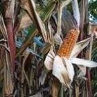 Maisgerechten, weer eens iets anders