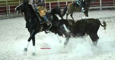 Bull turns to horse during rodeo pick up.
