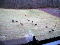 Turkey meeting outside my living room window! hahaha