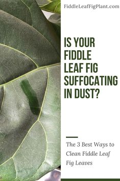 What's the Best Way to Clean Fiddle Leaf Fig Leaves?
