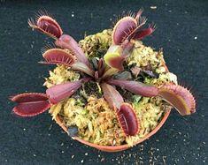 Dionaea muscipula 'Akai Ryu' Red Dragon Venus Flytrap Plant Shipped in Pot Rare Plants, Small Plants, Pot Plants, Grow Kit, Fly Traps, Garden Living, Carnivorous Plants, Red Dragon, Flower Seeds