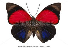 Butterfly species Agrias claudina lugens in high definition extreme focus isolated on white background