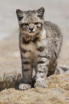 ..The Andean mountain cat is one of the least-known and rarest of all felines; almost all that is known about it comes from a few observations in the wild and from skins. There are none in captivity. It is believed to live only in the high Andes mountains of Peru, Bolivia, Chile and Argentina. Fewer than 2,500 individuals are thought to exist.. by dee29