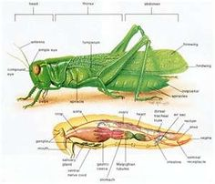 Grasshoppers-