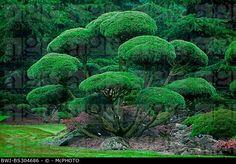 mountain pine, mugo pine (Pinus mugo subsp. mugo), topiary, Stock ... Japanese Garden Design, Japanese Gardens, Japanese Style, Mugo Pine, Front Stairs, Tree Pruning, Garden Stones, Yard Landscaping, Natural