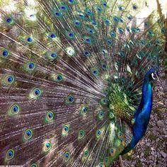Peacock on CafePress.com