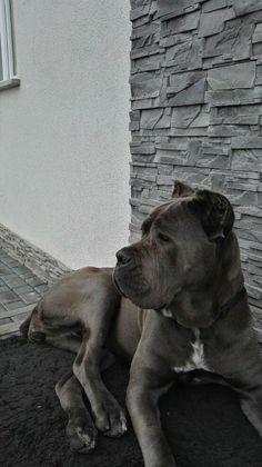 Cane Corso Dogs