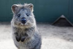 Curious Quokka at the Adelaide Zoo! Photo from Australia's Facebook page.