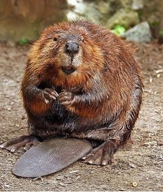 Most definitely was a Beaver... :)