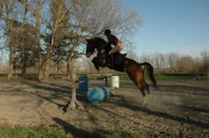 Jumping Standardbred Chill Town a.k.a Bentley