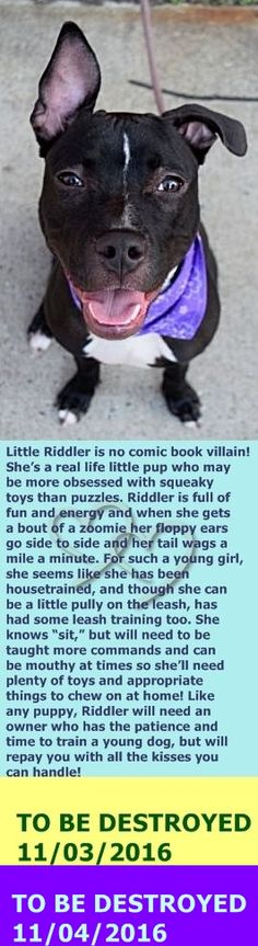 MURDERED 11-4-2016 --- Brooklyn Center RIDDLER – A1094624  FEMALE, BLACK / WHITE, AM PIT BULL TER MIX, 6 mos OWNER SUR – EVALUATE, NO HOLD Reason PERS PROB Intake condition EXAM REQ Intake Date 10/24/2016  http://nycdogs.urgentpodr.org/riddler-a1094624/