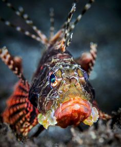 Look of 'Hımmmm ok.' Scorpion By Reunion Underwater Photography Underwater Creatures, Underwater Life, Ocean Creatures, Underwater Photos, Fishing Photography, Underwater Photography, Film Photography, Street Photography, Landscape Photography