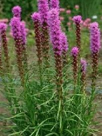 Liatris 'spicata' Blazing Star (Indiana Native Plant) (I planted several bulbs this year but also purchased plants last year at home depot)